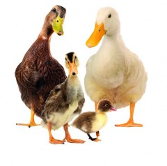 Muursticker farm family eendenfamilie